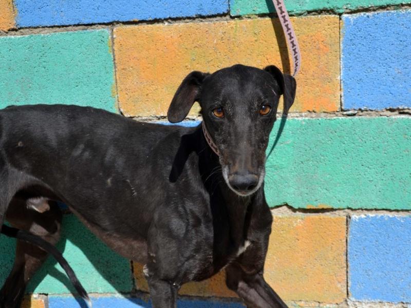 Raul ( Moro) galgo noir Adopté Dsc_0416
