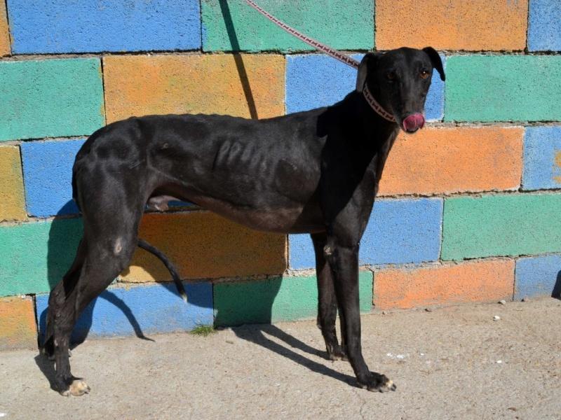 Raul ( Moro) galgo noir Adopté Dsc_0417