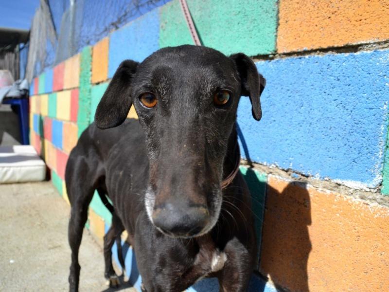 Raul ( Moro) galgo noir Adopté Dsc_0418