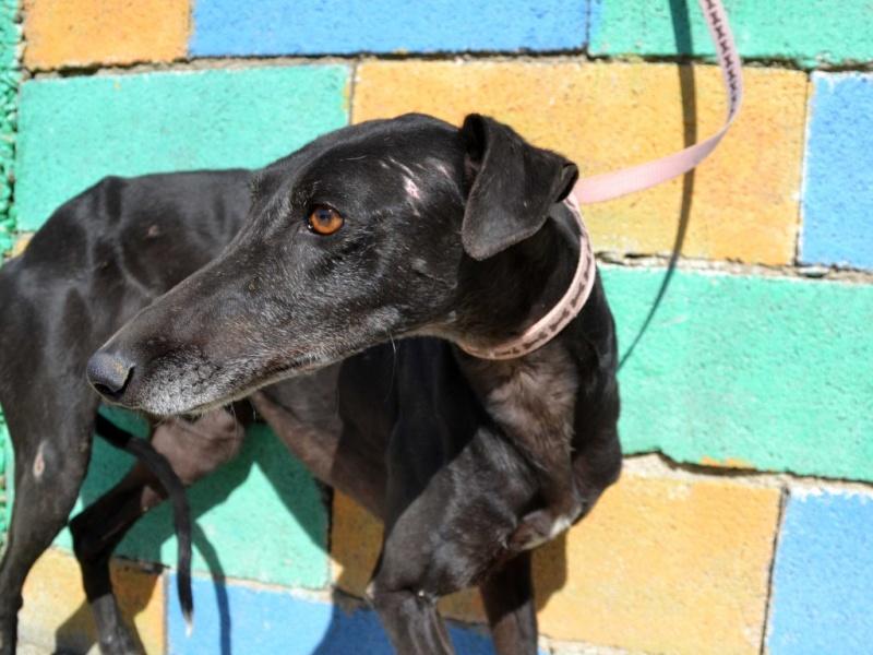 Raul ( Moro) galgo noir Adopté Dsc_0419
