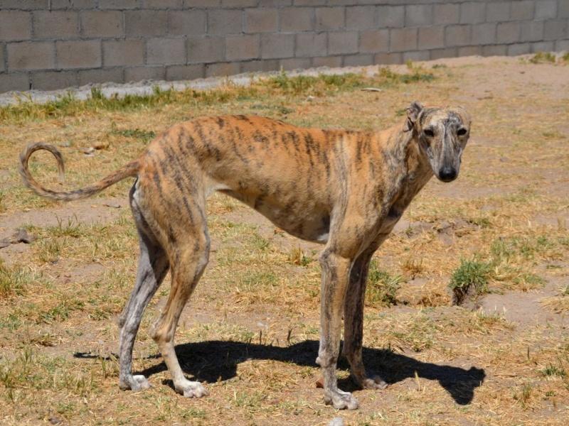 Amor, femelle bringée claire, 18 mois Scooby France adoptée  Dsc_0455