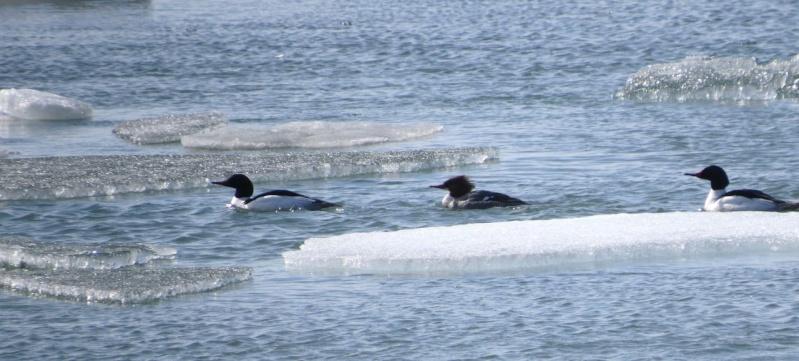 Trois beaux canards... à identifier Av15_t10