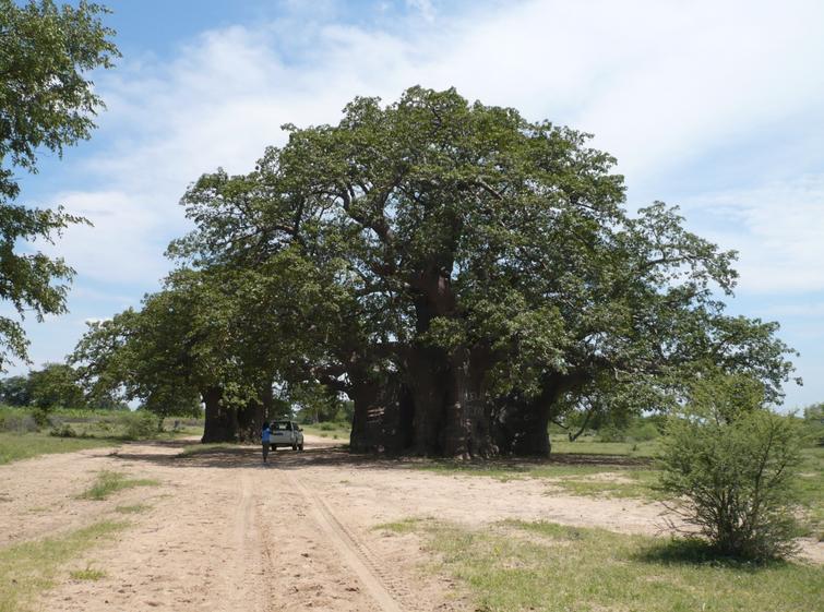 Andansonia digitata : Baobab Baobab10