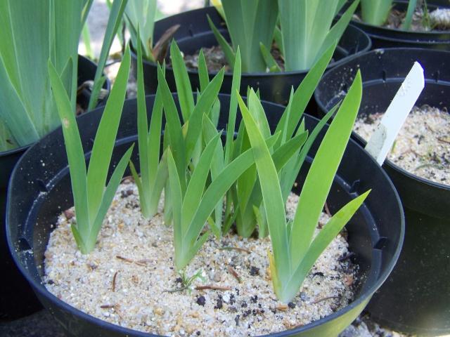 Donne graines d'iris  100_3656