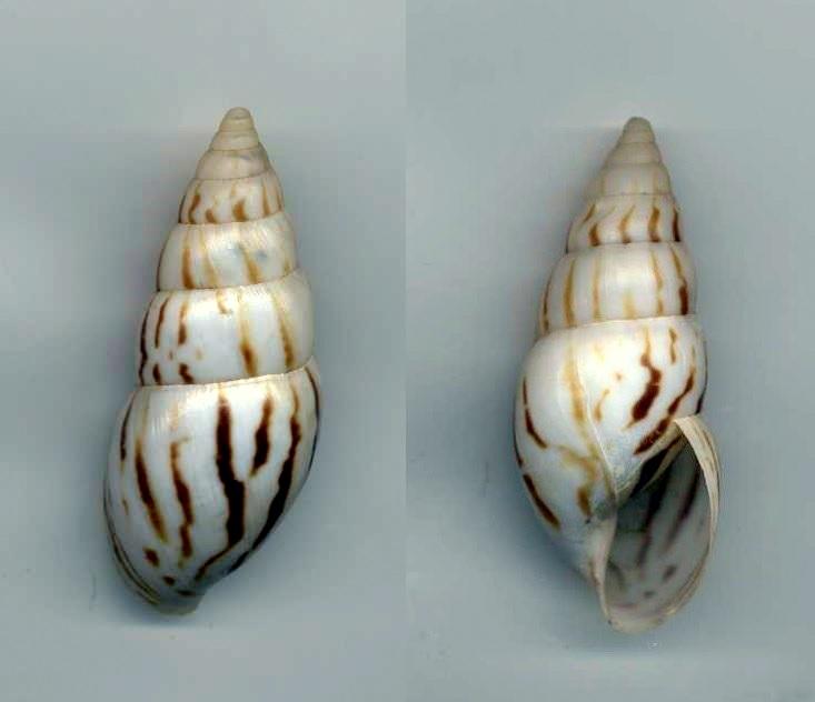 Limicolaria flammea (Müller, 1774) Achati10