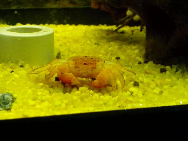 nouveaux pensionnaires(Sesarma mederi, Crabe à pince rouge) Img_2010