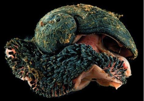 Peltospiridae - Chrysomallon squamiferum - Chen, Linse, Copley & Rogers, 2015  Captur13