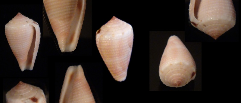 Conus (Pionoconus) metcalfii   Reeve, 1843 - Juvéniles Conus_11