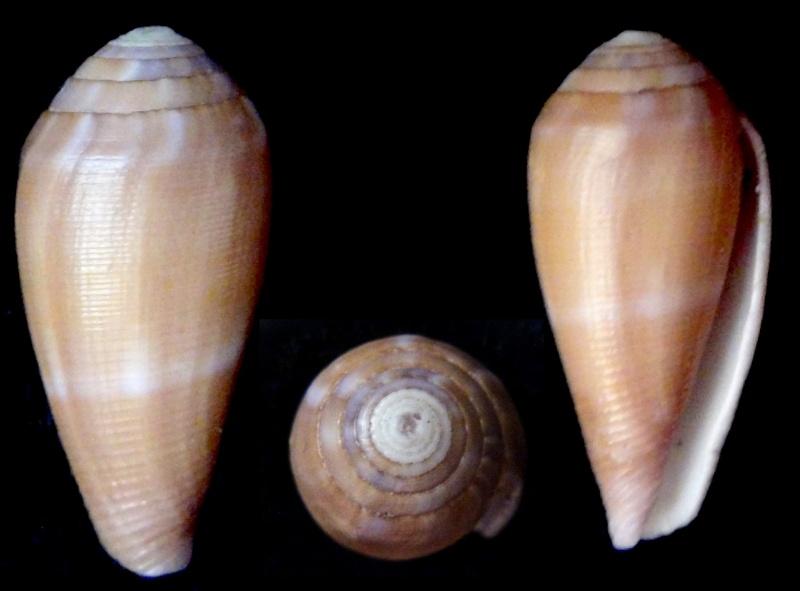 Conus (Leporiconus) pomareae   E Monnier & L Limpalaër, 2014 Lepori10