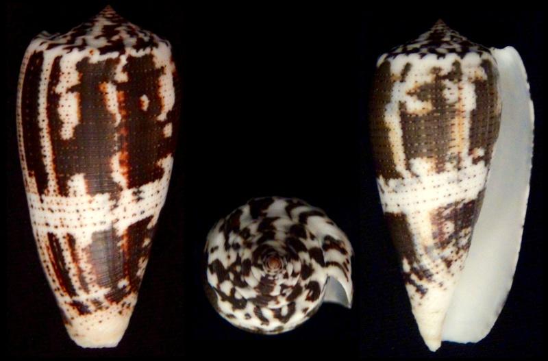 Conus (Pionoconus) magus consul  Boivin, 1864 Conus (Pionoconus) magus Pionoc10