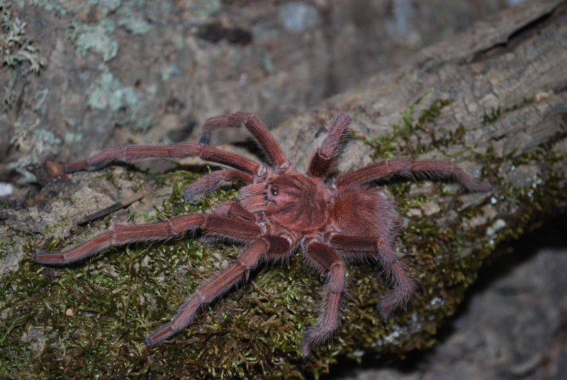 Mygale - Acanthoscurria antillensis Acanth10