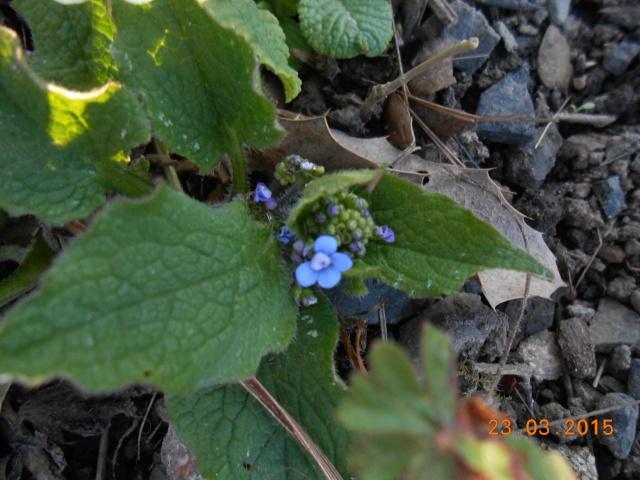 brunnera macrophylla ou myosotis du caucase 2015-026