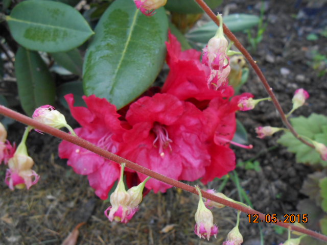 rhododendron - Page 15 2015-754