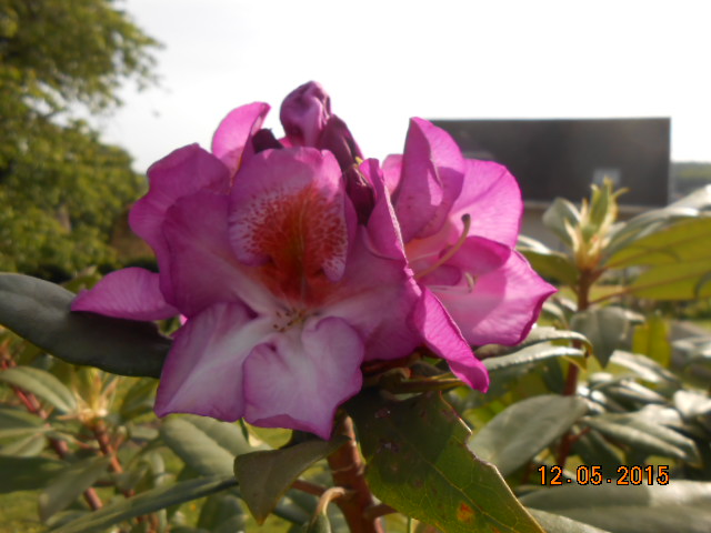 rhododendron - Page 15 2015-755