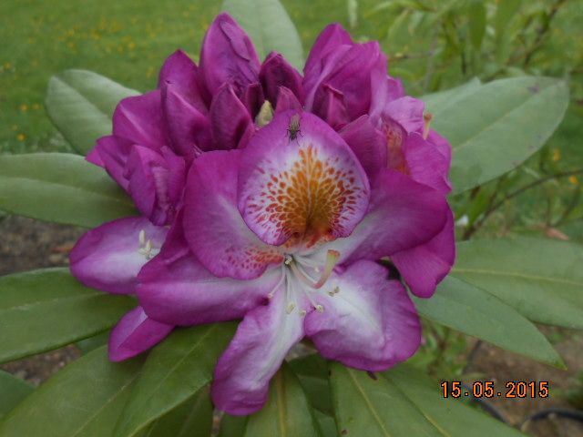 rhododendron - Page 15 2015-817