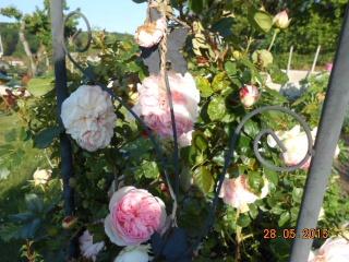 Rosa 'Pierre de Ronsard' !!! - Page 2 20151036