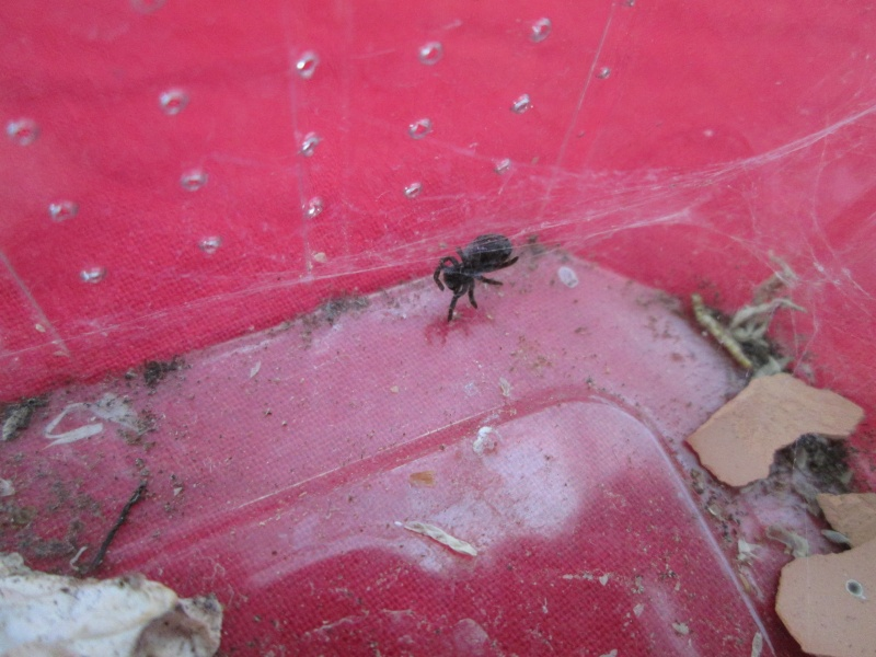 [Araignée]Eresus illustris Img_4534