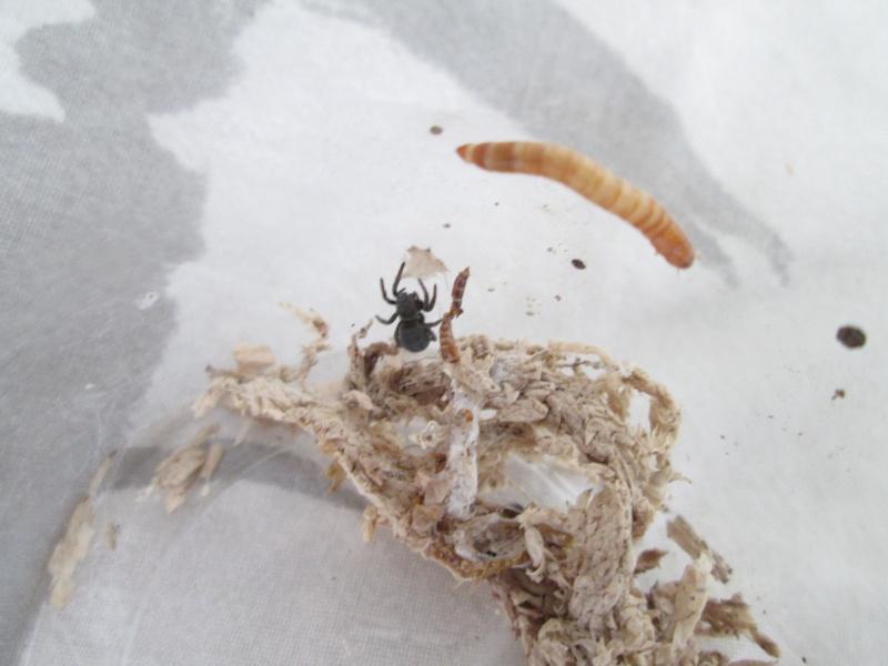 [Araignée]Eresus illustris Img_4811