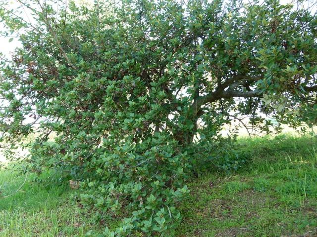 Ceanothus arboreus et cultivars  1024px12