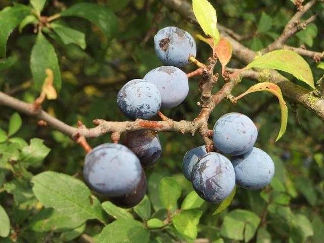 Prunus spinosa - prunellier, épine noire 20140710
