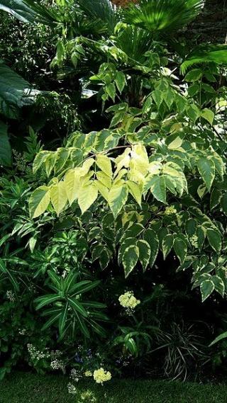 Aralia elata - angélique du Japon 337px-10