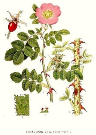 Rosa rubiginosa (groupe) - rosier rouillé 427px-10