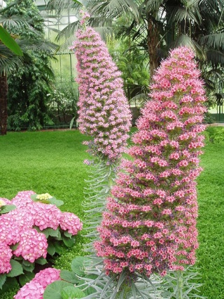 Echium wildprettii 450px-14