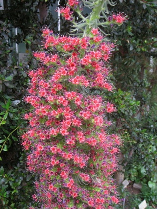 Echium wildprettii 450px-15
