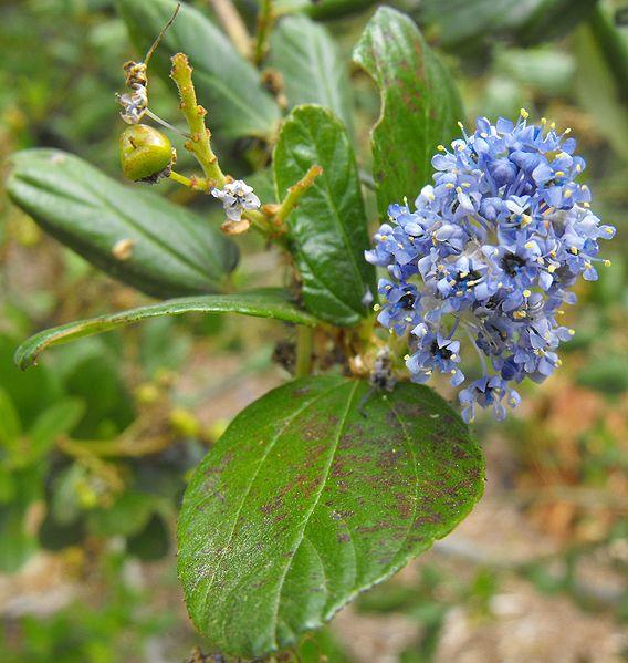 Ceanothus arboreus et cultivars  568px-10