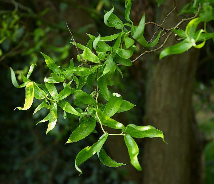 Salix - groupe babylonica et matsudana - saules pleureurs et tortueux  696px-10