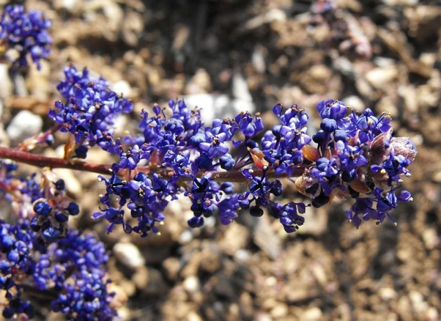 Ceanothus thyrsiflorus var. repens - céanothe à fleurs en thyrse rampant 800px-13