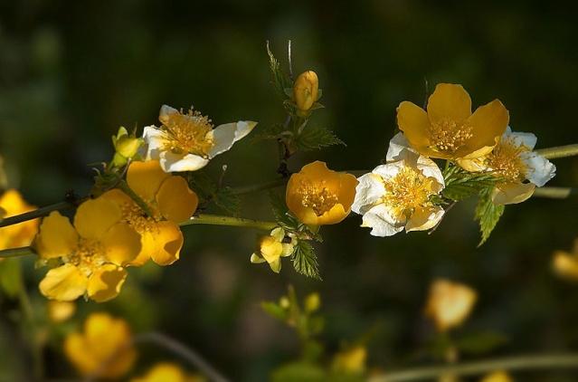 Kerria japonica - corète du Japon 800px-17