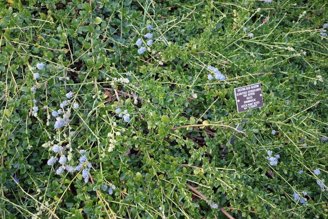 Ceanothus thyrsiflorus var. repens - céanothe à fleurs en thyrse rampant Ceanot11