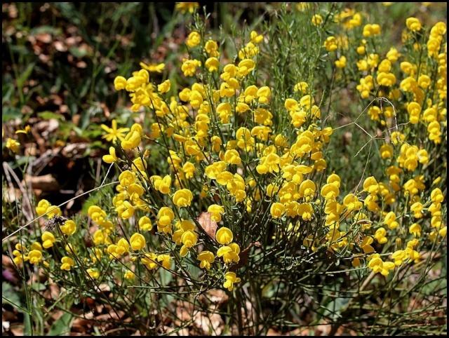 Cytisus oromediterraneus (= C. purgans) - genêt purgatif Cytisu10