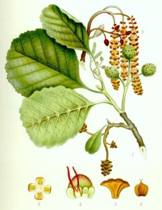 Alnus glutinosa et cultivars - aulne glutineux Klibba10
