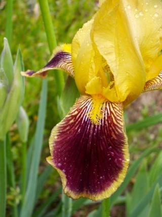 Neuf Iris de Cormillonne [identification non terminée] Pict0010