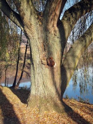 Salix - groupe babylonica et matsudana - saules pleureurs et tortueux  Salix_10