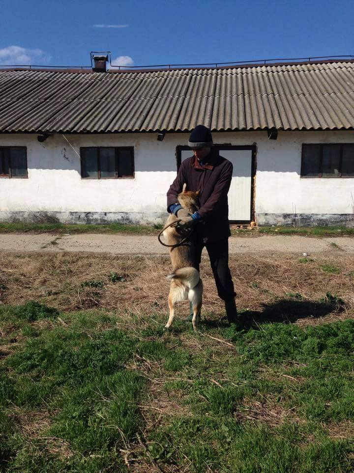 Biko, Husky 2/3 ans gentil ok congénère ROUMANIE ASSO Suisse ADOPTE 10362810
