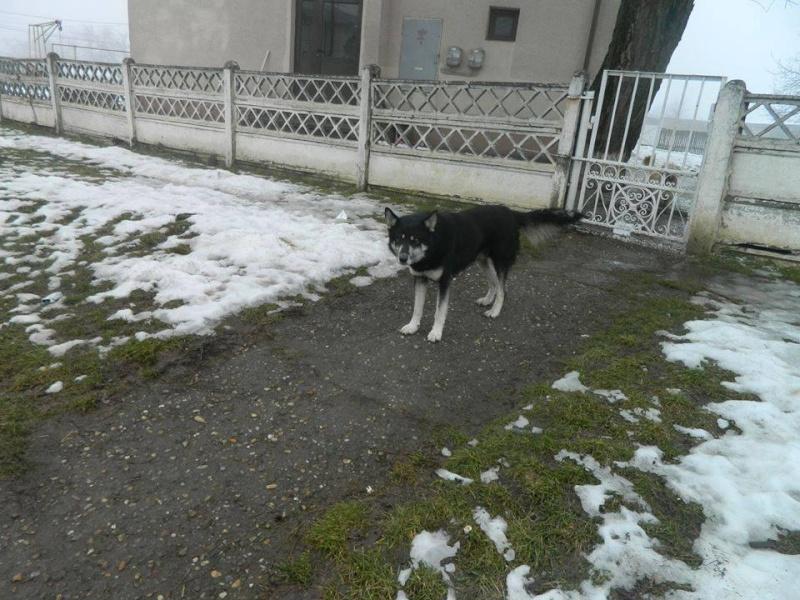 OURAL x  husky (m) 3 ans  ok congénères et chats ROUMANIE 10384810