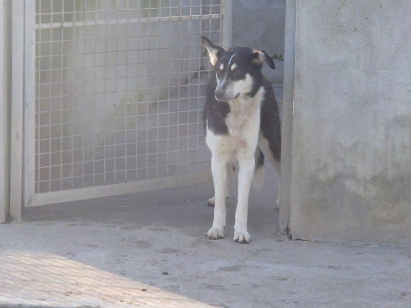 Wespa, Husky x Berger 4 ans (f) REFU82 Adopter 10392410
