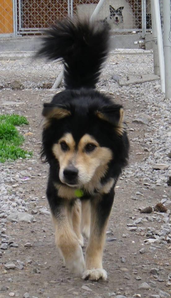 Kaïser, croisé chien finnois de laponie (m) REFU04 ADOPTE 10411910