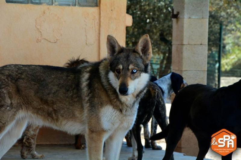 JO et JENA, Chien-loup tchèque X Husky, frere et soeur 2011 REFU13 10417710