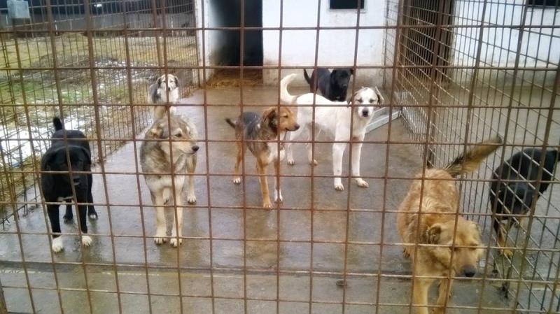 Migou, croisé Husky taille moyenne 2/3 ans. Roumanie  10420010