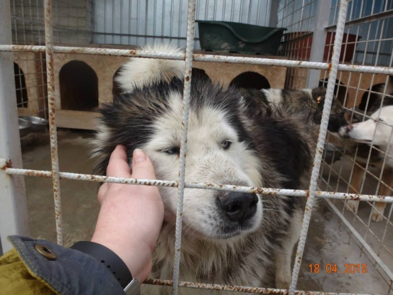 Hector husky (m) 4 ans refuge public de Botosani au nord de la Roumanie.ADOPTE 10421510