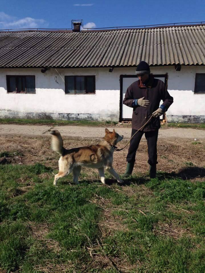 Biko, Husky 2/3 ans gentil ok congénère ROUMANIE ASSO Suisse ADOPTE 10423610