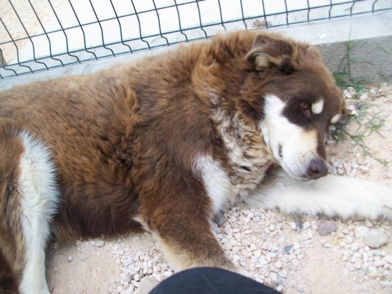 Scott, gentil x husky chocolat né en 2006    REFU66 - Page 3 10462510