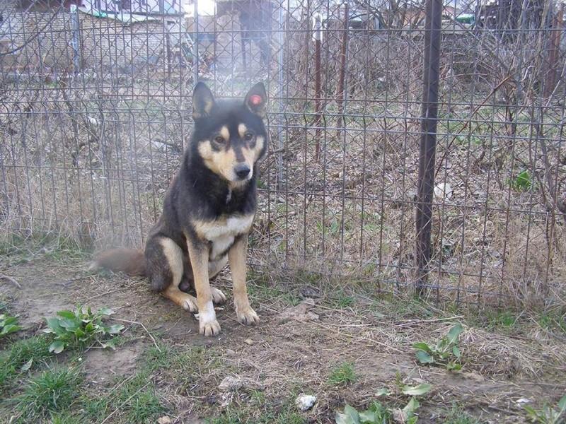 Daiko x husky entre 5 et 7 ans ASSO Roumanie ADOPTE 10615510