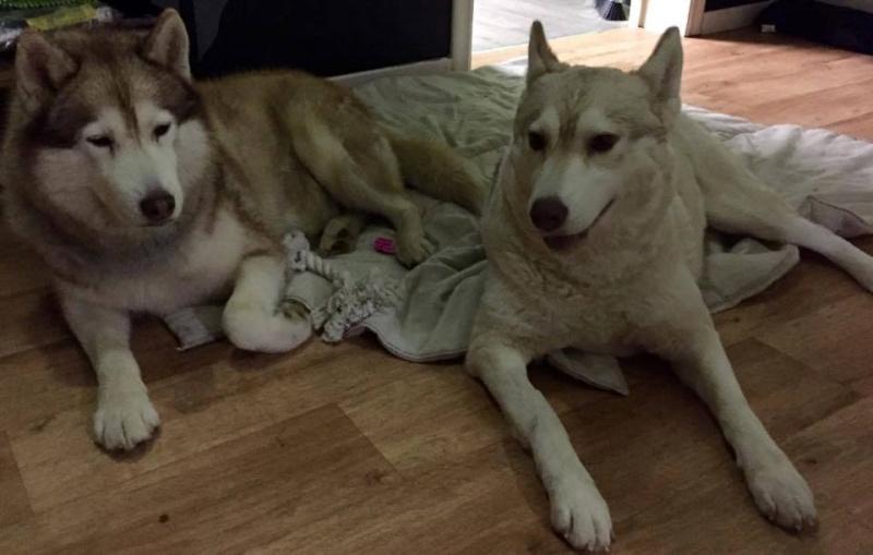 Google femelle husky 4 ans pas de chats ASSO Belgique  10885210