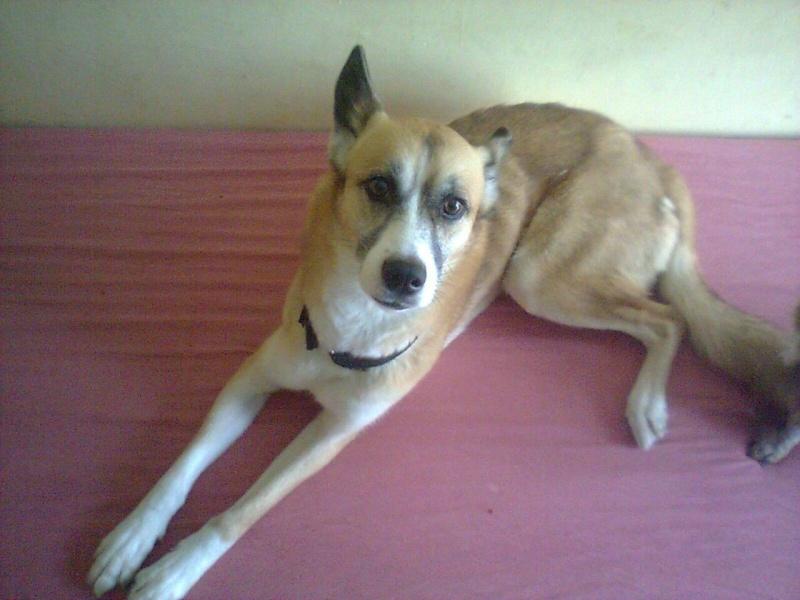 ZORRO x husky 4 ans gentil ok congénères pas de chats ASSO95 10887110