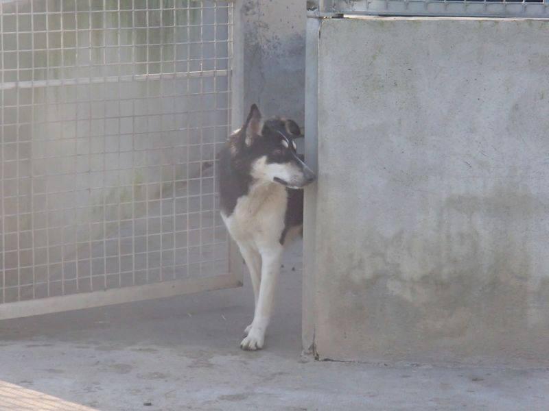 Wespa, Husky x Berger 4 ans (f) REFU82 Adopter 10917810